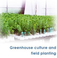Greenhouse culture and field planting