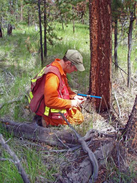 Figure 4. Collecting an increment core from a lodgepole pine in an uneven-aged stand in the Chilcotin Plateau, BC