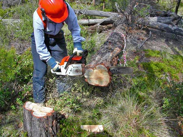 Figure 5. Collecting a disc from a dead lodgepole pine that has multiple scars (both mountain pine beetle and fire scars) from the Chilcotin Plateau, BC