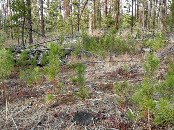 Figure 9. Seedlings established in response to increased light reaching the ground after canopy trees died due to mountain pine beetle attack in the Chilcotin Plateau, BC.